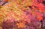 桜山公園の紅葉と冬桜を見に行ってきました♪